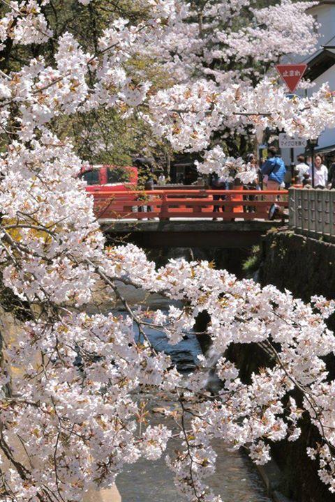 今年は全国的に桜が遅れていたようですが、飛騨高山もようやく満開のときを迎えました。