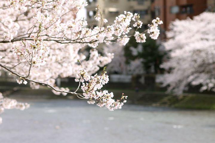 山王祭に合わせるように桜の盛りを迎えた今春の高山。