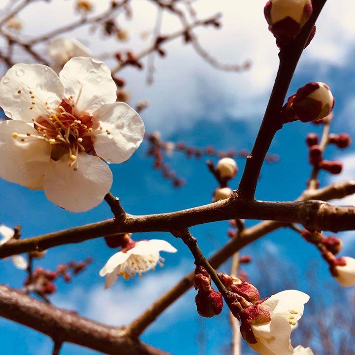 各地で桜が満開をむかえておりますが、ここ数日雪の日が続いている高山です。