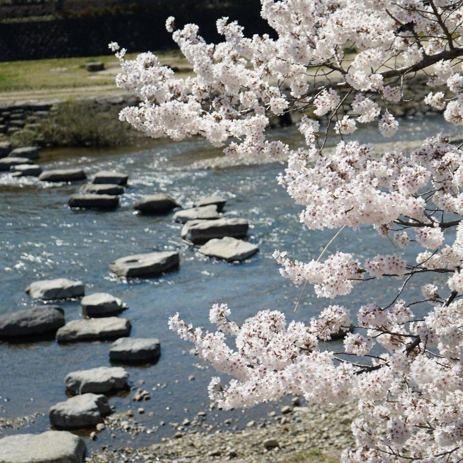 当館から無料の貸し出し自転車でお花見サイクリング飛騨高山の桜開花状況をお伝えします。